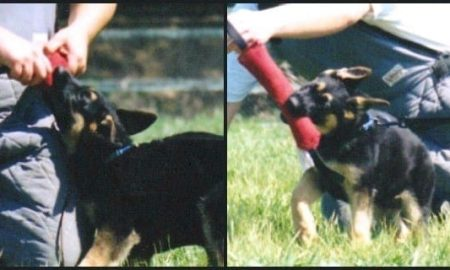 German Shepherd Puppy Sport Training