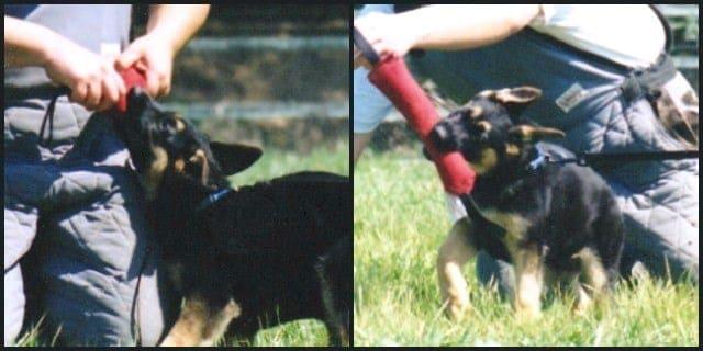 German Shepherd Puppy Sport Training