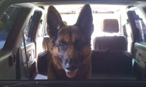 German Shepherd Car Ride