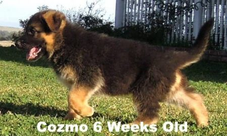 German Shepherd Puppy Cozmo