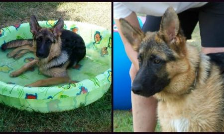 German Shepherd Puppy 6 Months Old