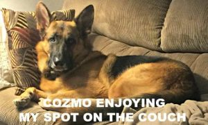 German Shepherd Cozmo on Couch