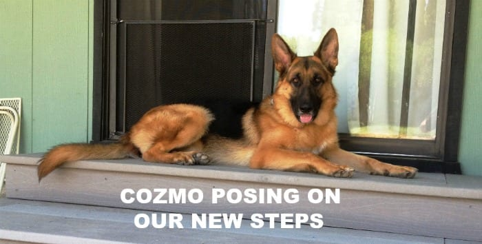 German Shepherd Cozmo