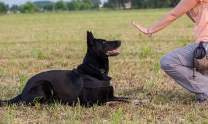 5 training tips for the german shepherd dog