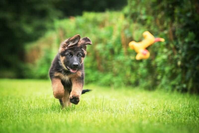 GSD Pup Chasing Toy