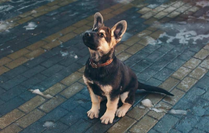 Puppy Training Training And Socializing Your German Shepherd Puppy