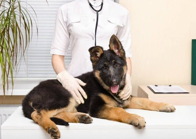 GSD Pup with Vet