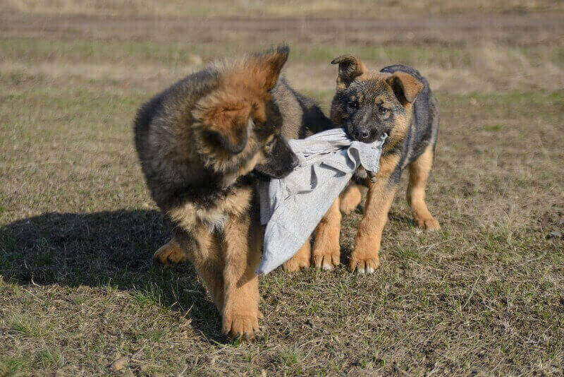 GSD Pups Playing Tug