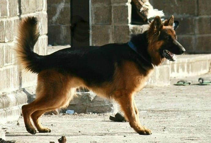 German Shepherd Body Language