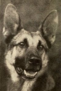Strongheart German Shepherd