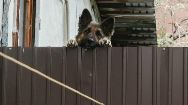 german shepherd looking over fence
