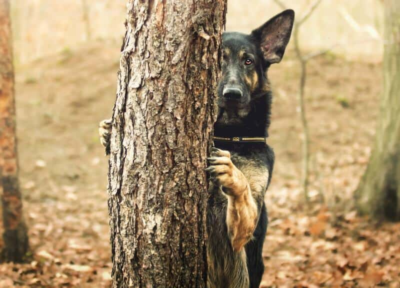 How To Survive The Puppy Fear Stage German Shepherd Country