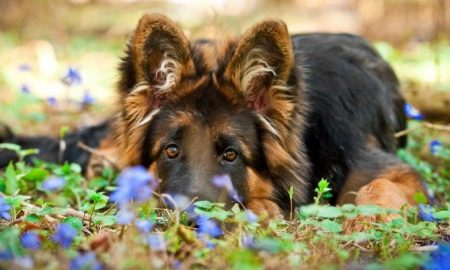 coccidiosis in puppys