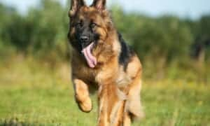 German Shepherd Running