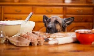 GSD Stealing from Kitchen Table