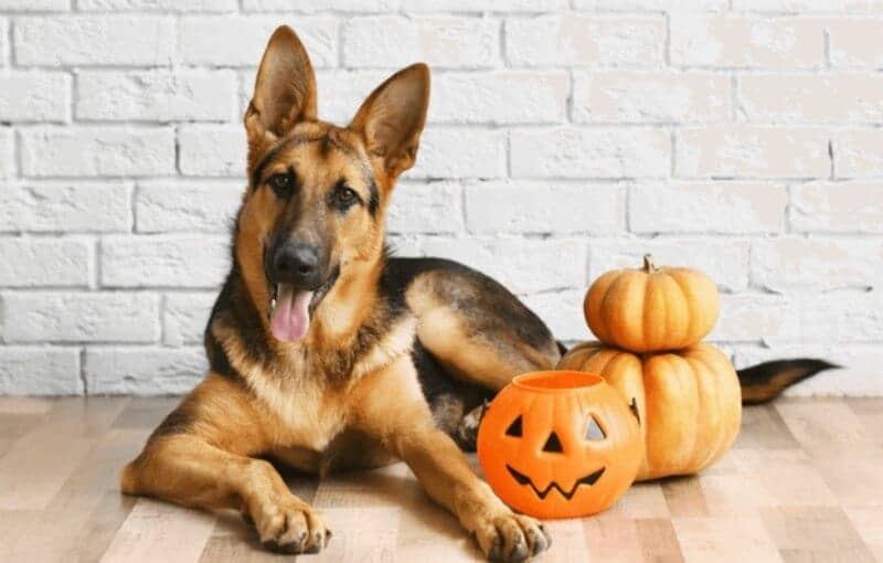 german shepherd dog with halloween pumpkins