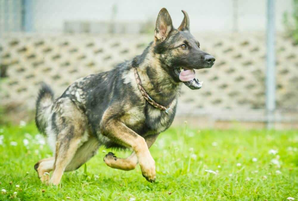 German Shepherd Sable Coat