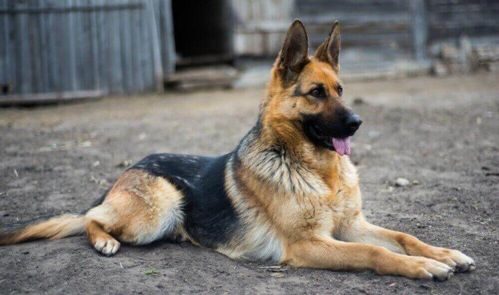 german shepherd standard german shepherd breed standards size characteristics 185
