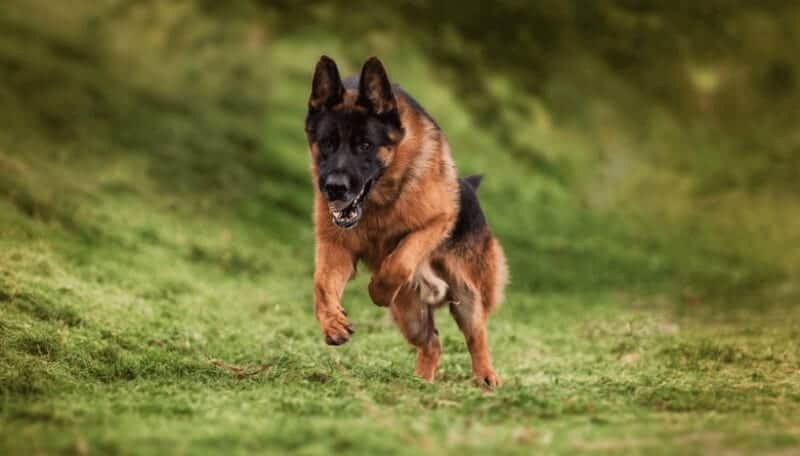 german shepherd standard german shepherd breed standards size characteristics 2458