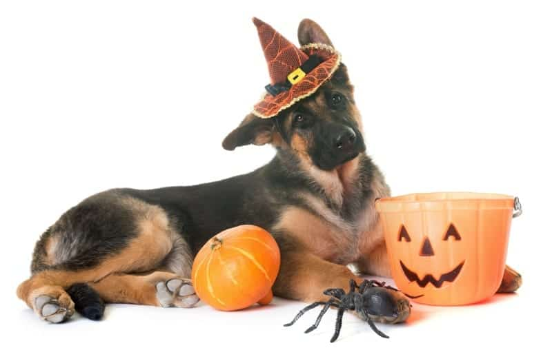 german shepherd dog with halloween decorations
