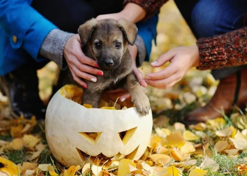 german shepherd puppy in halloween pumpkin