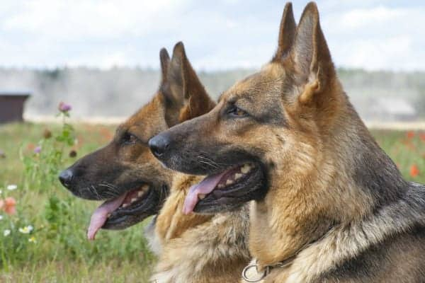 male dogs