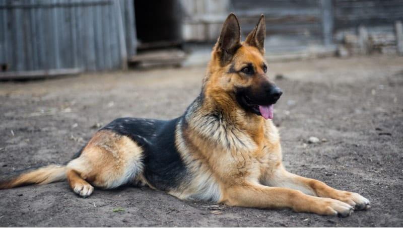 german shepherd black and tan