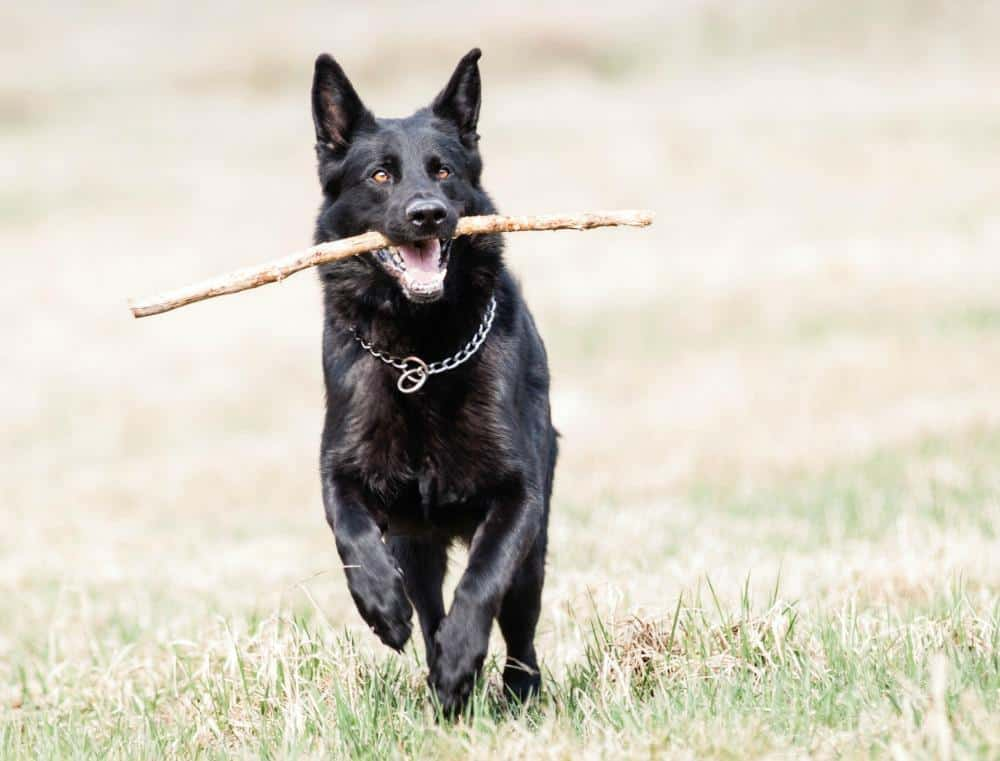 Black German Shepherd running with stick
