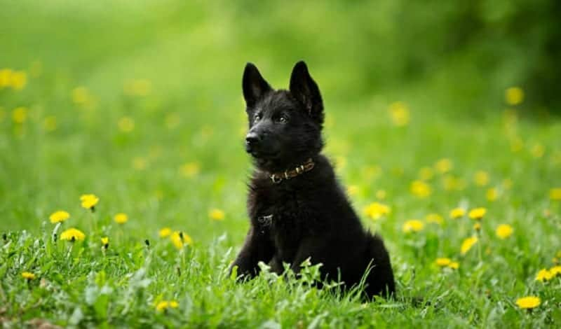 black german shepherd puppy in a field