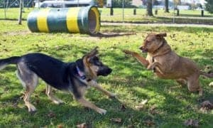 German Shepherd Dog Playing