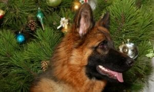 German Shepherd Pup in front of Christmas Tree