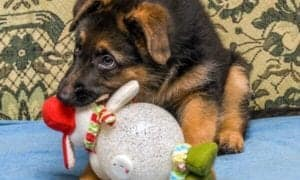 gsd puppy at christmas