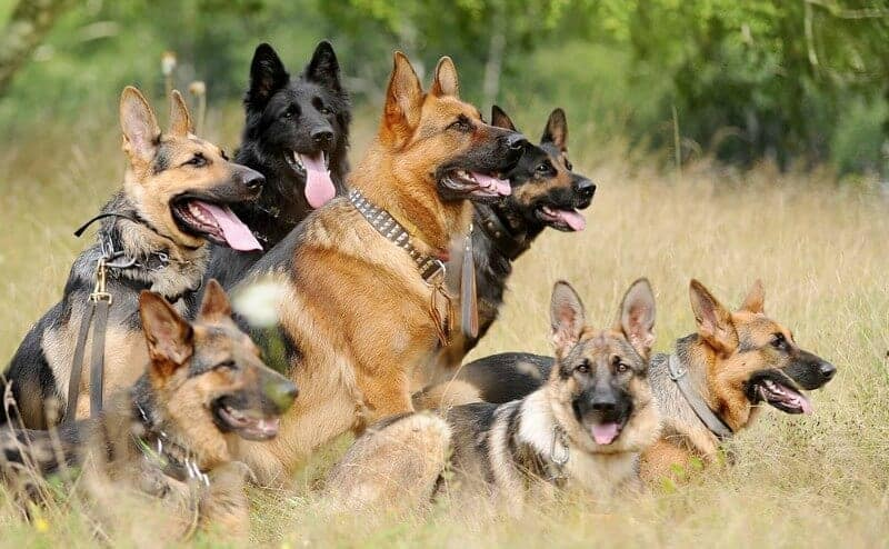 seven german shepherds in a field