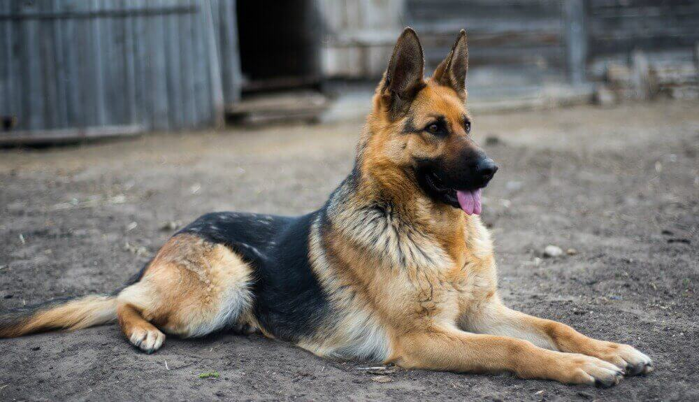 German Shepherd Dog Black and Tan