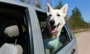 White German Shepherd in Car