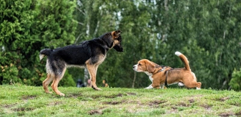 gsd and beagle at dog park