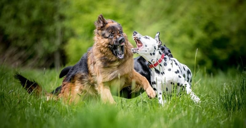 gsd and dalmatian at dog park