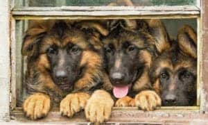GSD Puppies in Window
