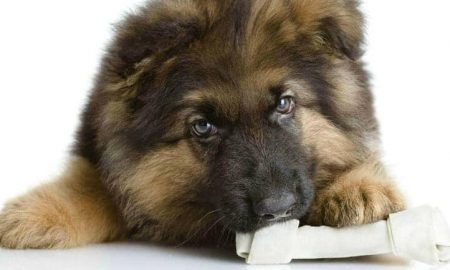 GSD Puppy Chewing Bone