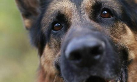 german shepherd dog close-up of face