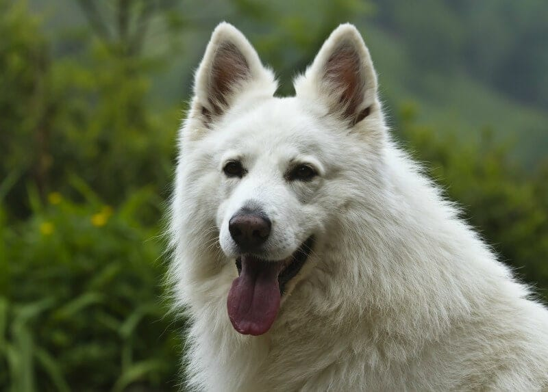white german shepherd dog with plush coat