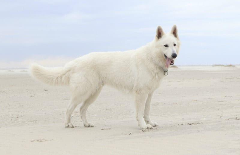 white german shepherd dog on beach
