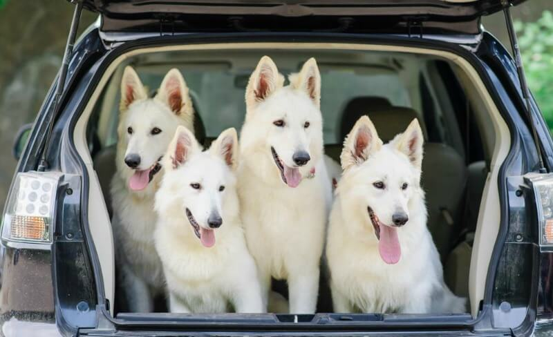 white german shepherd dogs in vehicle