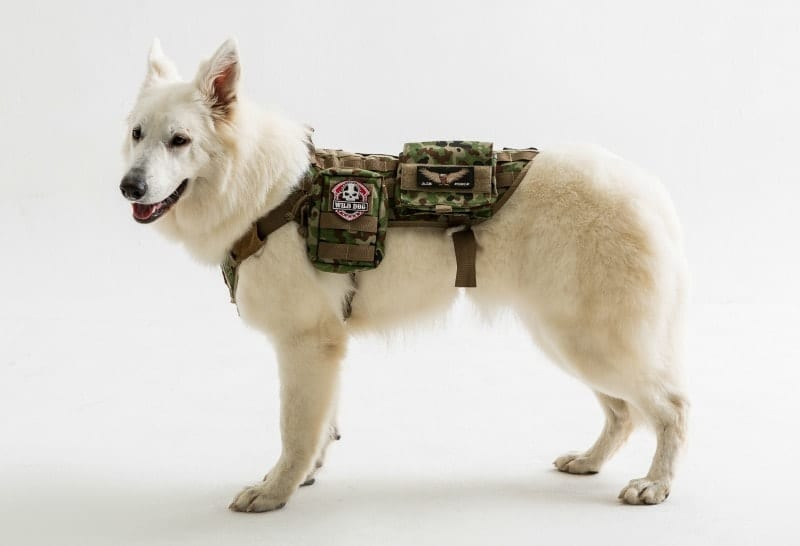 white swiss shepherd in working harness