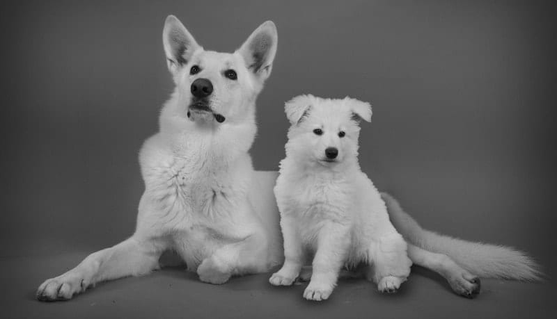 white german shepherd dog and white german shepherd puppy