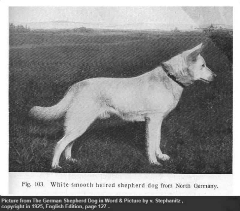 white german shepherd dog Berno von der Seewiese