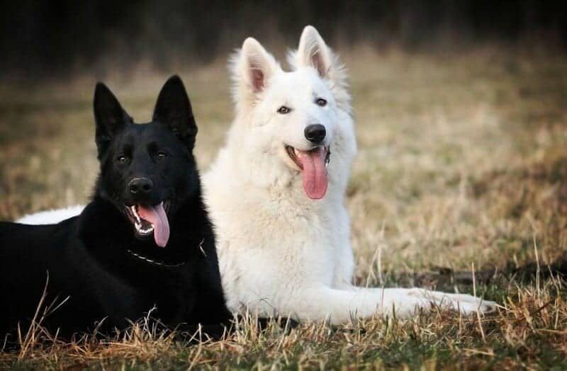 black and white german shepherd