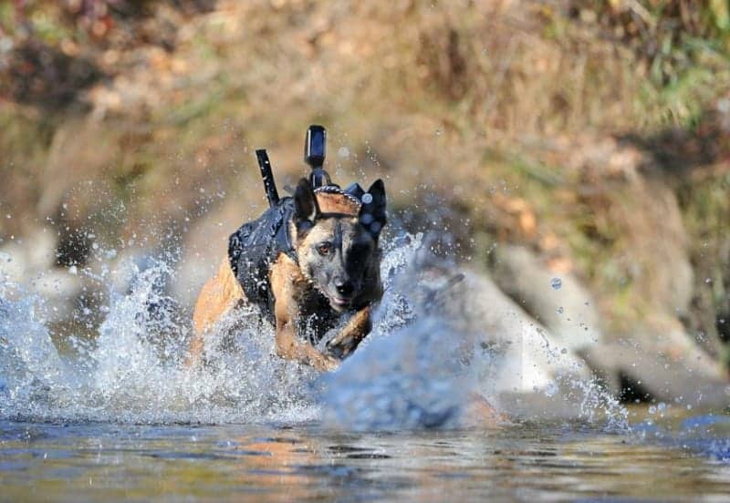 belgian malinois running through water