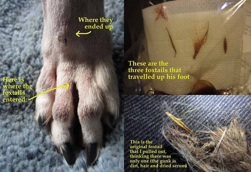 foxtail in dog paw