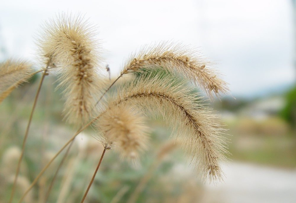 foxtails and dogs